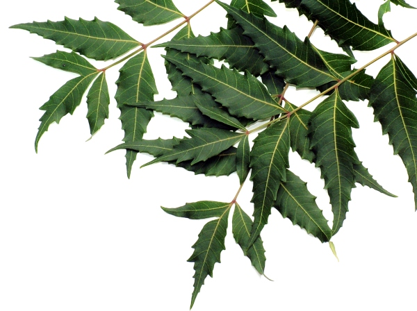 Neem oil benefits.