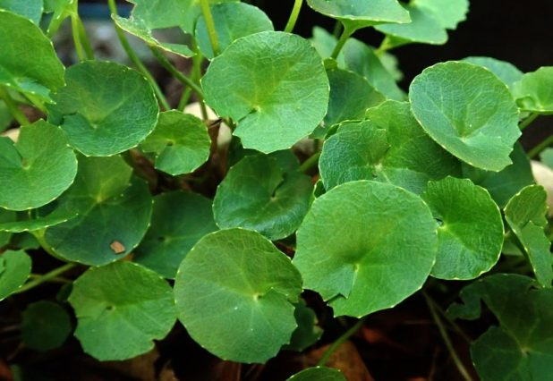brahmi benefits uses side effects Ayurvedic