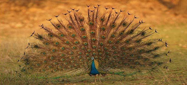 peacock-pench-national-park