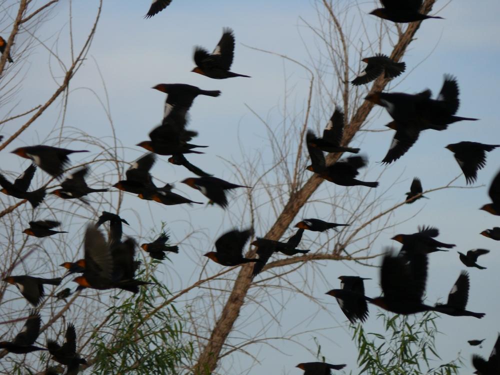 Sweetwater-Blackbirds