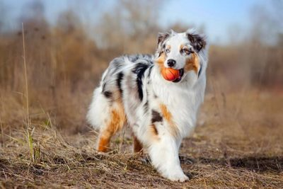 Herding Group – American Kennel Club