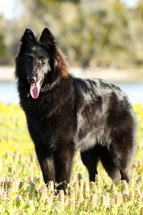 Belgian Sheepdog Dog Breed Information
