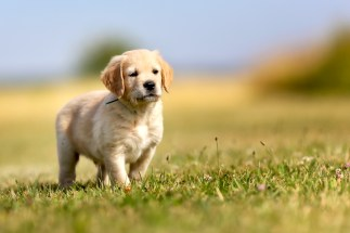 How to Train a Golden Retriever Puppy: Growth & Training Timeline