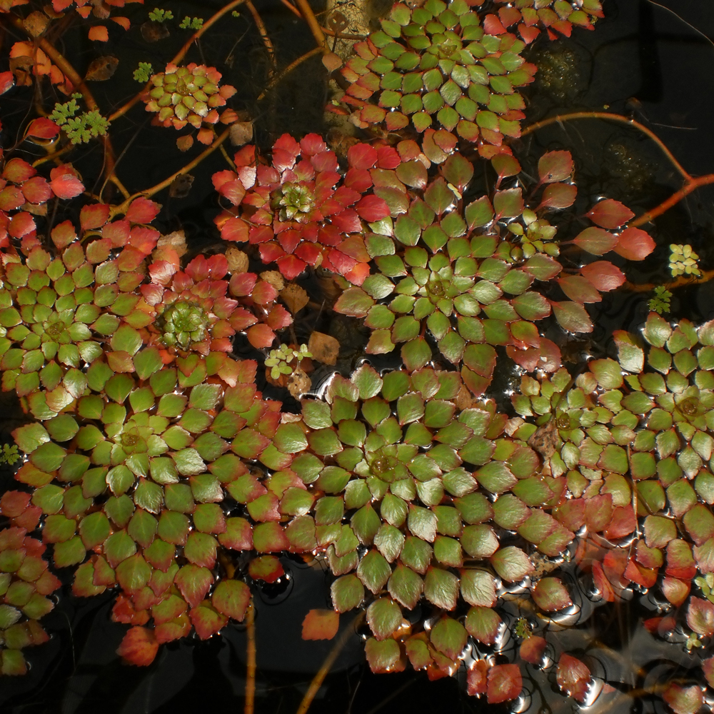 Water Plants Fish Ponds