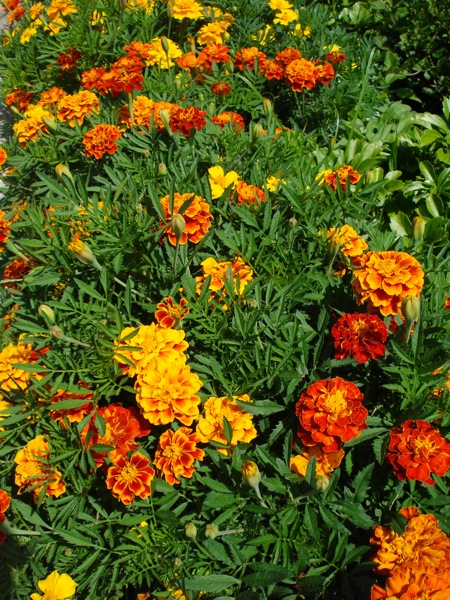 moms-marigolds2