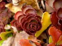 sedum-in-fall