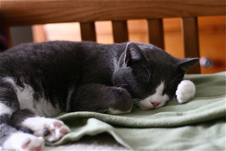 gray-and-white-cat-sleeping