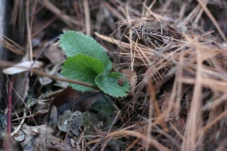 strawberry-in-pine-needles