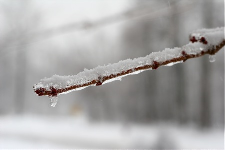 ice-on-branch