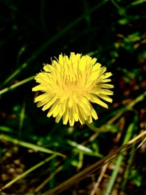 dandelion-bloom