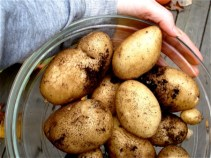 harvested-potatoes