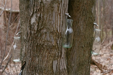 maple-sugaring