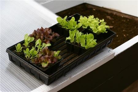 flat-of-lettuce
