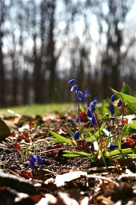 scilla-in-bloom