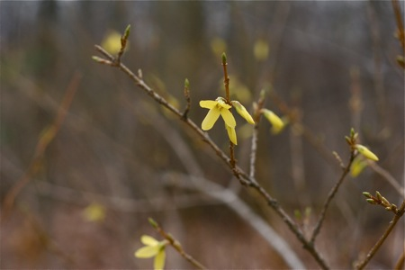 forsythia-bloom