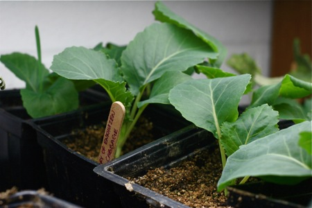 cabbage-seedlings