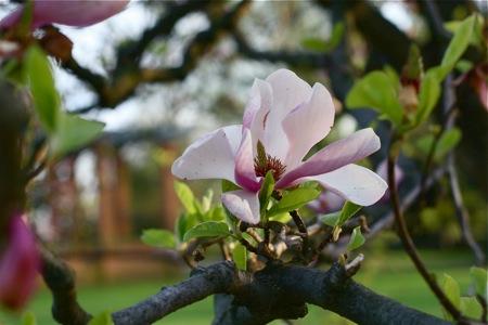 magnolia-bloom