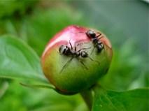 ants-on-a-peony