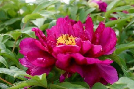 pink-tree-peony-blossom