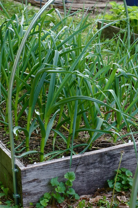 garlic-in-the-garden