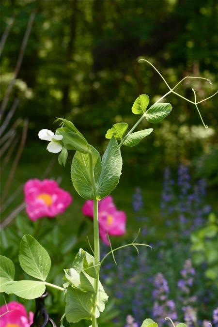 pea-blossom