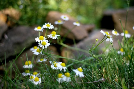 chamomile-blooming