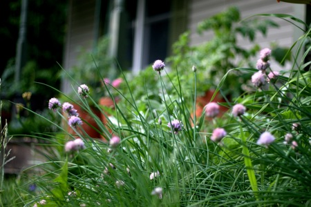 chives-blooming