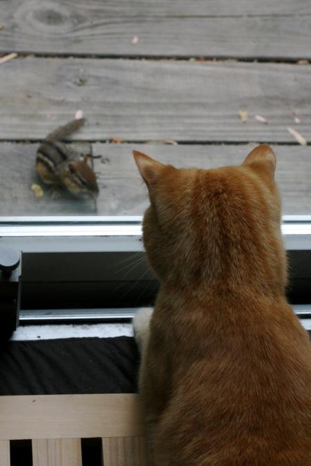 cat-stalking-chipmunk