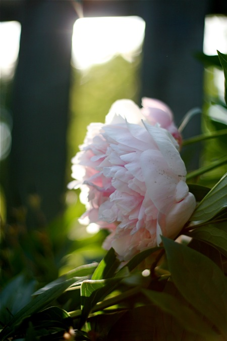 light-pink-peony-in-sun