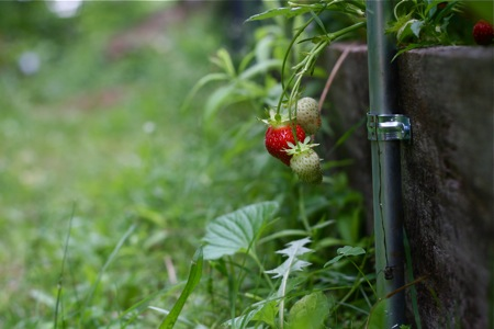 strawberry-hanging-out-of-raised-bed
