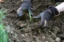 planting corn seedlings 3