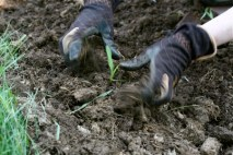 planting corn seedlings 3