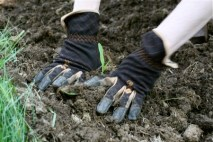 planting corn seedlings 4