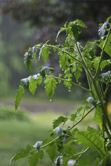 Tomato plants in rain