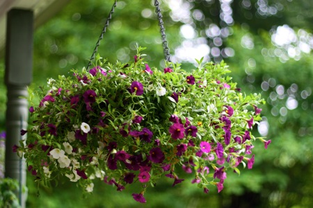 hanging basket of superbells 2