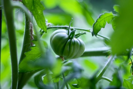 Zapotec Pleated Tomato