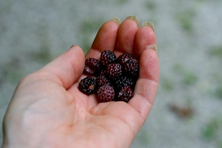 Wild Black Raspberries
