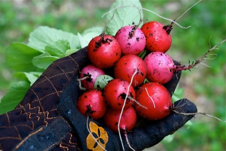 Picking_Radishes