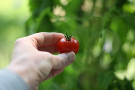 First_Ripe_Tomato