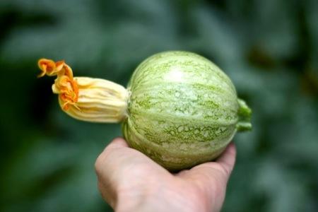 Harvesting_squash
