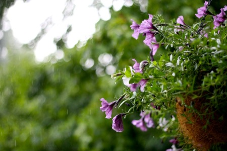 Purple_Petunia_in_rain