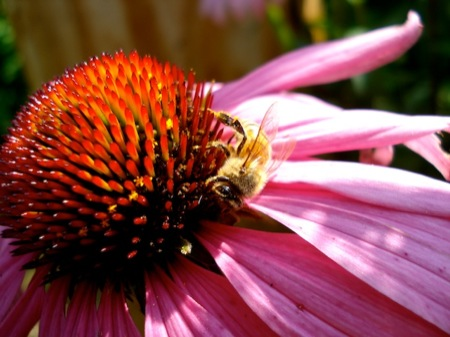 Bee_on_Echinacea