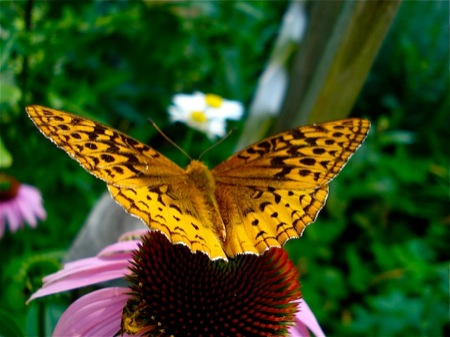 Butterfly_on_Echinacea