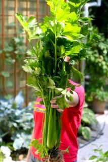 Big_Celery_Harvest