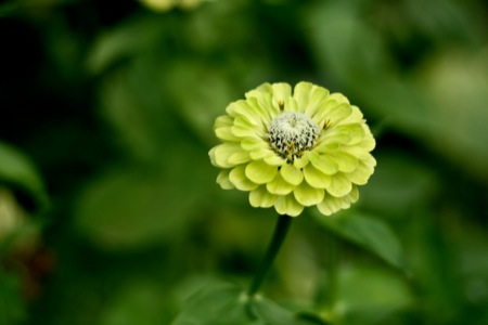 green_envy_zinnia
