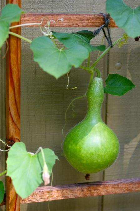 Birdhouse_gourd