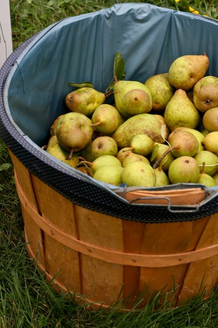 pears_in_basket