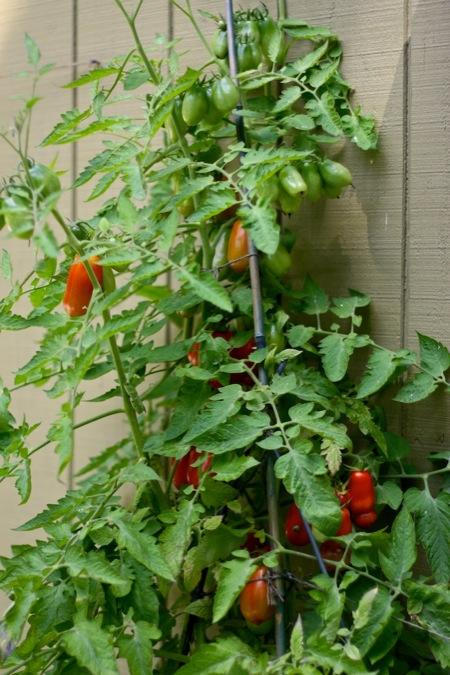 San_Marzano_tomato_plant