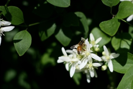 Honeybee_on_clematis
