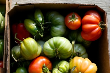 Green_and_red_tomatoes
